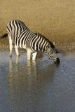 Выпивать зебры Стоковая Фотография