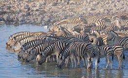 Выпивать зебры Стоковая Фотография RF