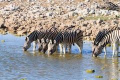 Выпивать зебр Стоковое Изображение