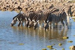 Выпивать зебр Стоковая Фотография RF