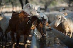Выпивать козы Брайна Стоковое Изображение RF
