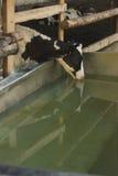 Выпивать коровы Стоковая Фотография