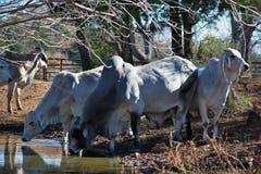 Выпивать коров Brahma стоковое фото rf