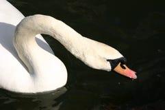 Выпивать лебедя Стоковое фото RF