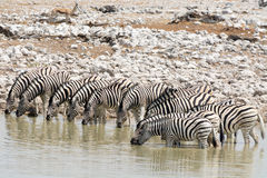 Выпивать много зебр стоковое изображение rf