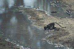 Выпивать обезьяны бархата Стоковая Фотография RF