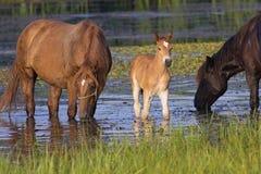 2 выпивать лошадей и осленка Стоковая Фотография