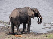Выпивать слона Стоковые Фото