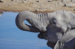 Выпивать слона Стоковое Фото