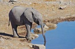 Выпивать слона Стоковые Изображения