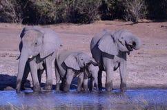 Выпивать слонов Стоковые Фотографии RF