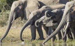 Выпивать табуна африканского слона (africana Loxodonta) стоковые изображения rf