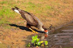 Выпивать хищных птиц Южный Caracara, идя в траву, Pantanal, Бразилия Портрет plancus Caracara хищных птиц Автомобиль Стоковые Фото