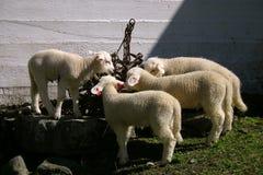 выпивать 4 овечек стоковые фото