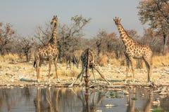 Выпивать 3 giraffes Стоковые Изображения
