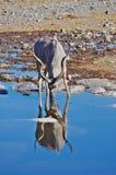 Выпивать Kudu Стоковые Фото