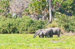 Выпивая африканские слоны в джунглях стоковое изображение rf