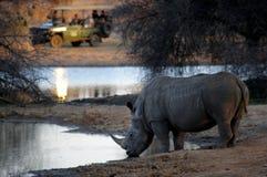 выпивая белизна носорога Стоковые Фотографии RF