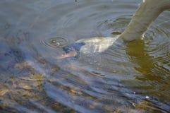 выпивая белизна воды лебедя вода пузырей ванны предпосылки голубая Стоковое Фото