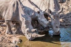 3 выпивая белых носорога Стоковое Изображение RF