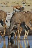выпивая большое kudu Стоковые Фотографии RF