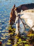 выпивая вода лошадей Стоковые Фото