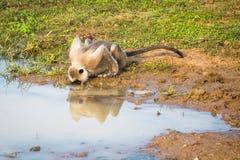 выпивая вода обезьяны Стоковые Фото