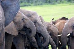 выпивая вода слонов Стоковая Фотография RF
