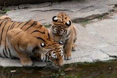 выпивая вода тигра Стоковые Фотографии RF