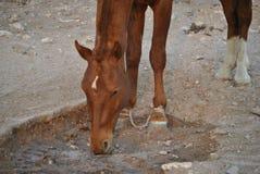 выпивая вода лошади Стоковое Изображение RF