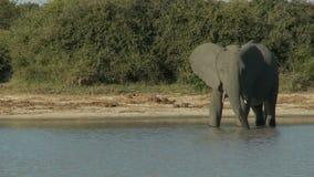 выпивая вода слона сток-видео