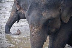 выпивая вода слонов Стоковая Фотография