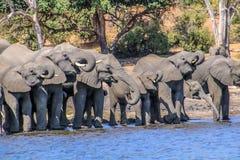 выпивая вода слонов Стоковое Фото