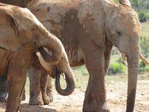 выпивая вода слонов стоковые изображения