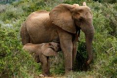 Выпивая время - слон Буша африканца стоковые фотографии rf