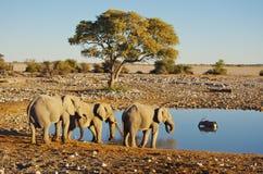 выпивая группа слонов Стоковые Фотографии RF