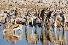 Выпивая животные на waterhole Стоковое Изображение RF
