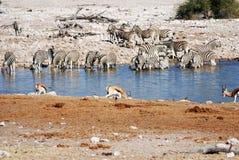 Выпивая животные на waterhole Стоковые Фотографии RF