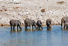 Выпивая животные на waterhole Стоковое фото RF