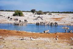 Выпивая животные на waterhole Стоковое Изображение