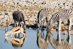 Выпивая животные на waterhole Стоковые Фото