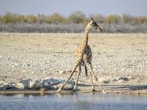 Выпивая жираф в Намибии Стоковое Изображение RF