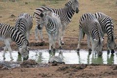 выпивая зебра стоковые изображения rf