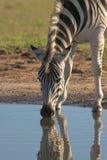 выпивая зебра Стоковая Фотография