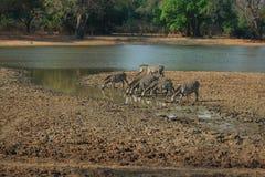 выпивая зебра s одичалая Стоковое Изображение RF