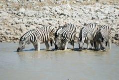 Выпивая зебры в национальном парке Etosha, Намибии Стоковая Фотография RF