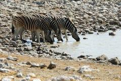 Выпивая зебры в национальном парке Etosha, Намибии Стоковая Фотография