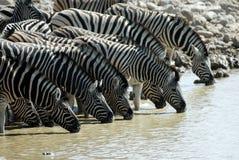 Выпивая зебры в национальном парке Etosha, Намибии Стоковые Фотографии RF
