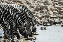 Выпивая зебры в национальном парке Etosha, Намибии Стоковые Изображения