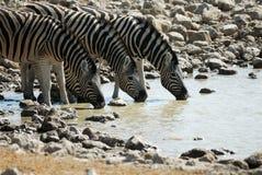 Выпивая зебры в национальном парке Etosha, Намибии Стоковые Фото